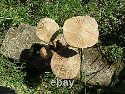 Fair Trade Indonesian Hand Carved Made Wooden Garden Mushrooms Parasite Statue